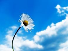 daisy-blue-background