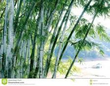 images BAMBOO