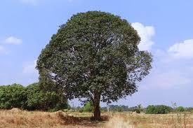 images MANGO TREE