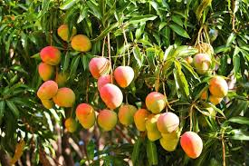 images MANGOES