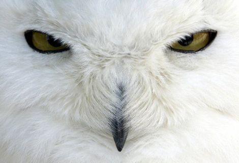 white-owl-animal-planet-3294871-688-469