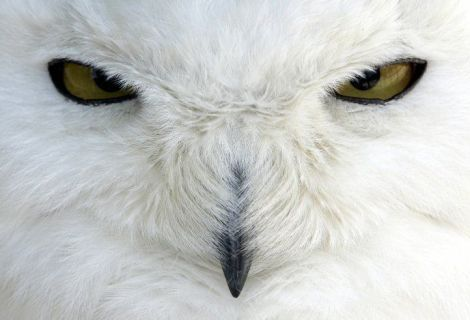white-owl-animal-planet-3294871-688-469