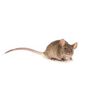 house-mouse-web-300x300