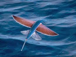 indexflying fish
