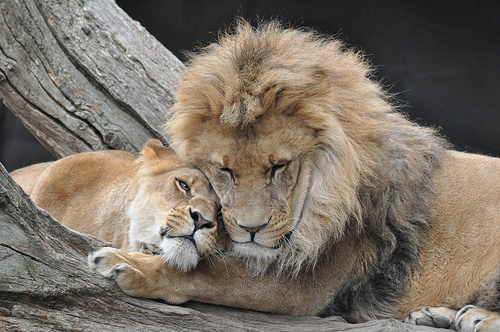 lions_love_by_thecookielionking-d3052ah