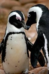 penguin-love-1315288