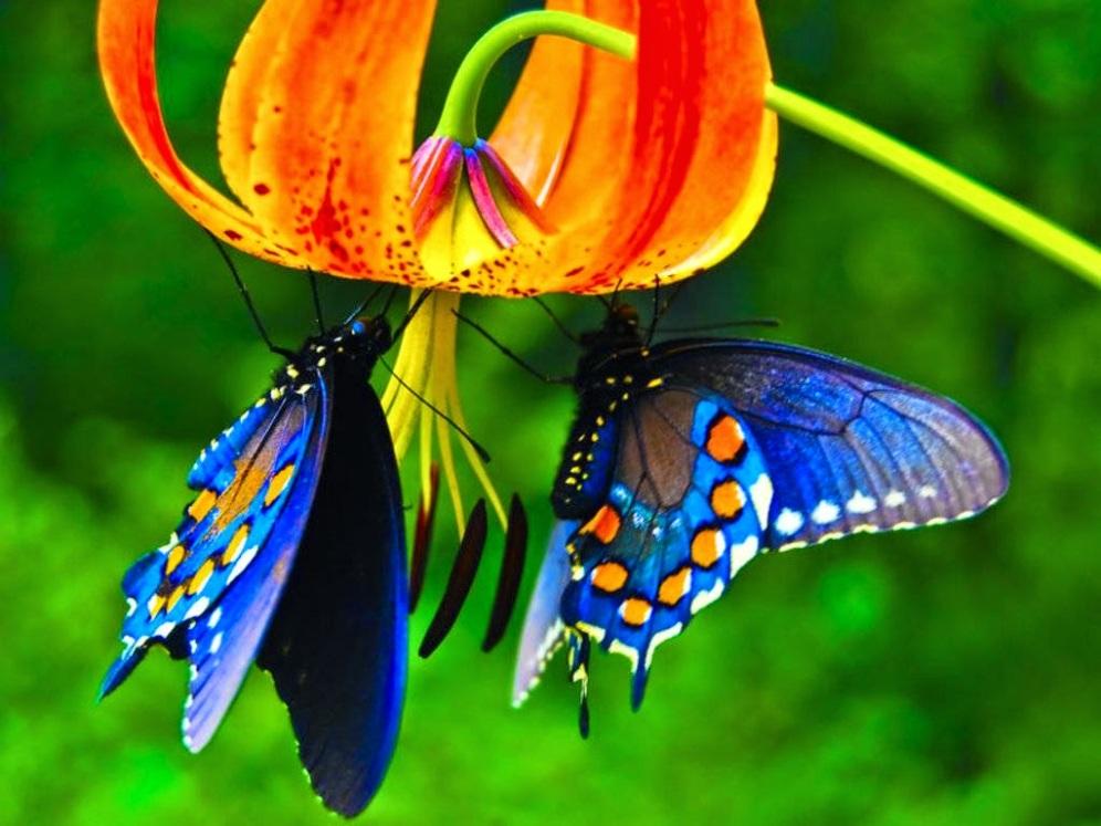 Beautyfull-Blue-Morpho-Butterfly-HD-Wallpaper-Picture-Dekstop-Background