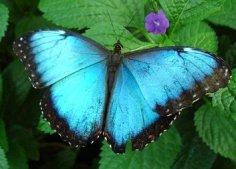 Blue-Morpho-Butterfly