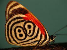 butterflies-neglecta-sartore_1368_600x450