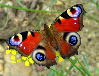 Butterfly-Coloring-The-Eye-Of-The-Peacock-Free-Ima-0515 peacock