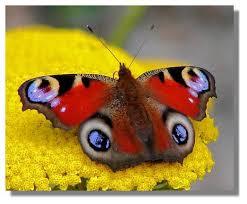 flybutter