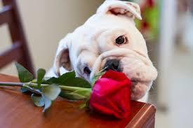 imagessmell rose