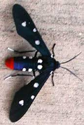imageswasp moth