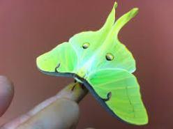 indexluna moth