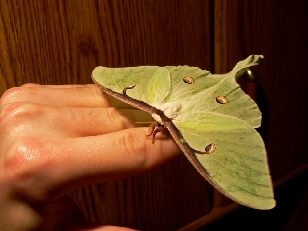 Large_Luna_Moth_by_postal_crazylegs
