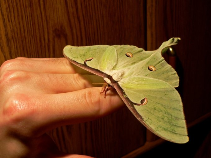 Large_Luna_Moth_by_postal_crazylegs