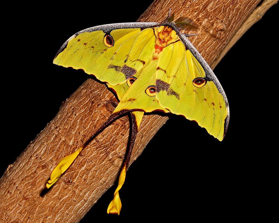 luna-moth-judy-vincent