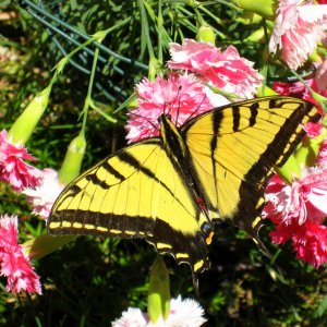 swallowtail-adult-butterfly-knottyboy