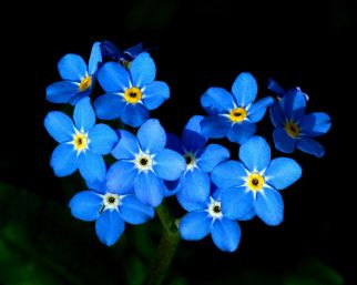 forget me not flowers free pictures