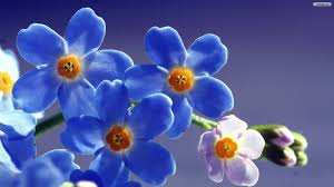 images-forget-me-nots