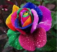 imageshappy-rose