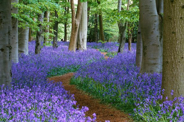 path-through-the-bluebell-wood-at-coton-manor-northamptonshire