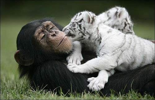 wildlife-photography-linhaystudio-blogspot-com-tiger_monkey-wildlife-photography