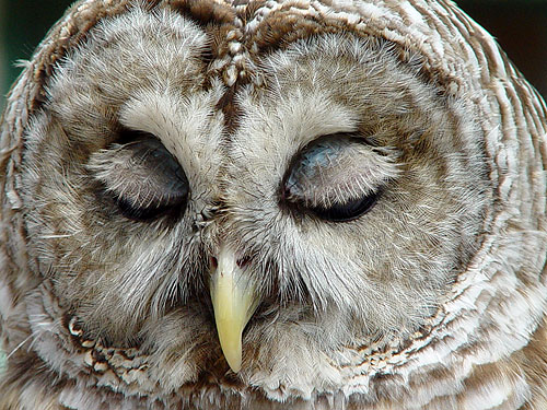 buho-dormido