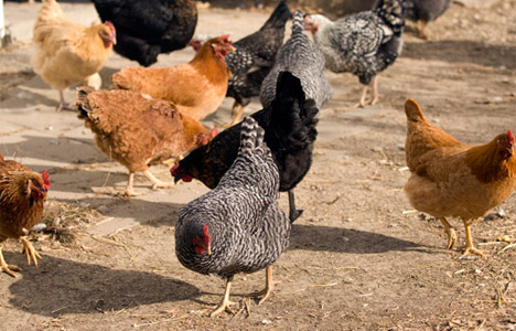 chickens-pecking