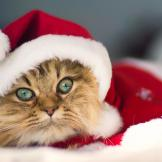christmas-cat-pictures-3