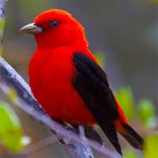 indexredbird
