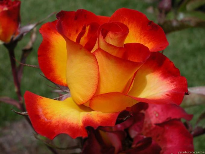 roses_068