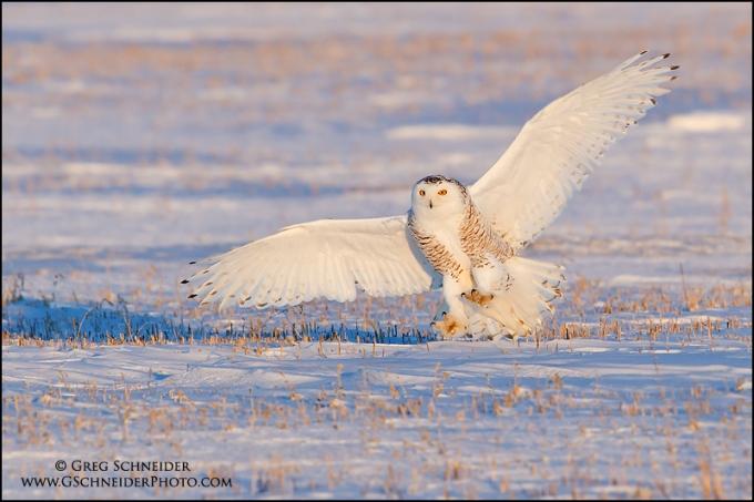 Snowy Owl landing in an Ontario field in winter