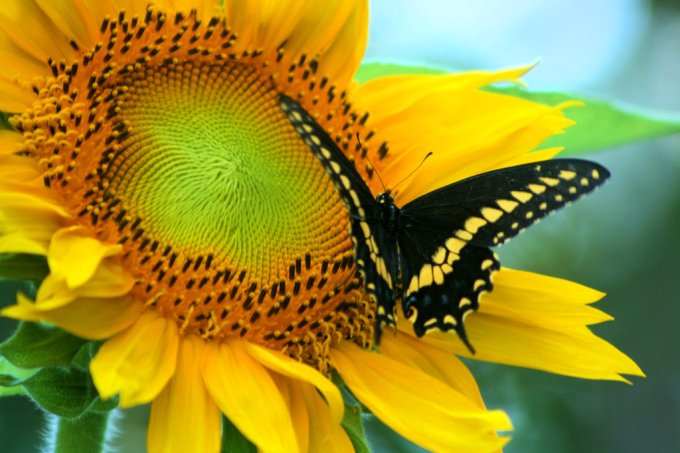 sunflower_butterfly_by_randy66-d6hi3nw