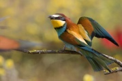 wildlife-bee-eater