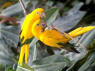yellow-birds-wallpaper-rasimwallpaper