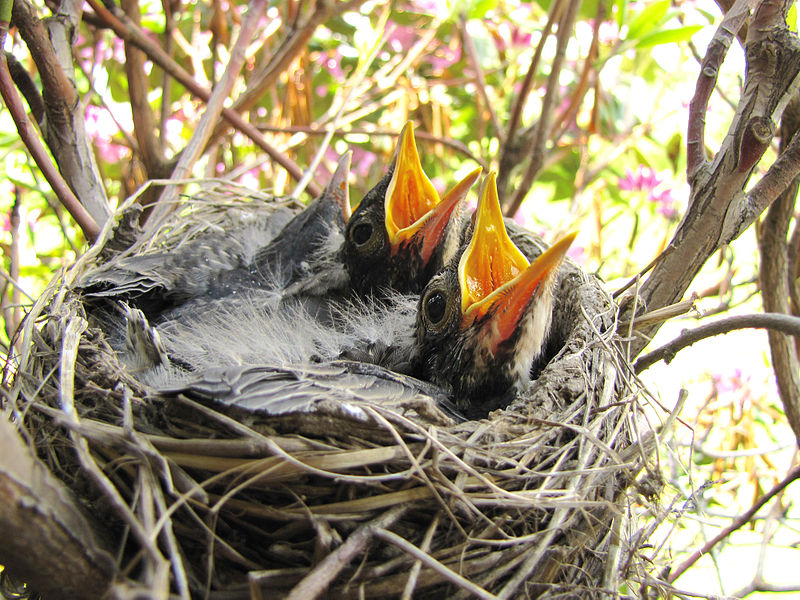 baby_robins_ready_to_feed-jpg1
