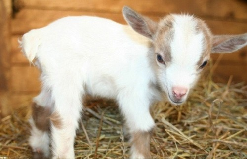 baby-goat-picture-baby-goat-tongue-baby-goats-basket-105407