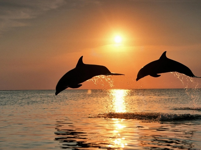 dolphins-jumping-sunset-hd-wallpaper