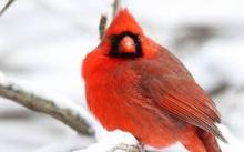 images-jpg-cardinal