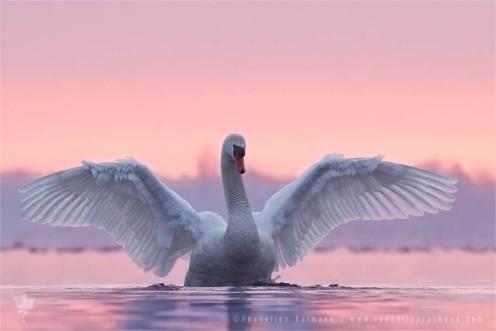 pink_swan1