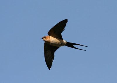redrumpedswallow