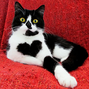 meet-zoe-the-cat-who-literally-wears-her-heart-on-her-chest-thumb