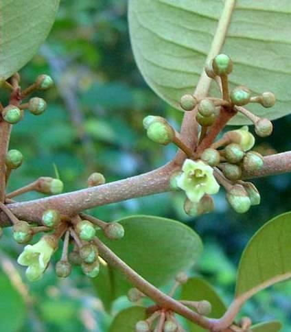 chrysophyllum-oliviforme16a