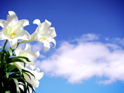 easter-lily-blue-sky