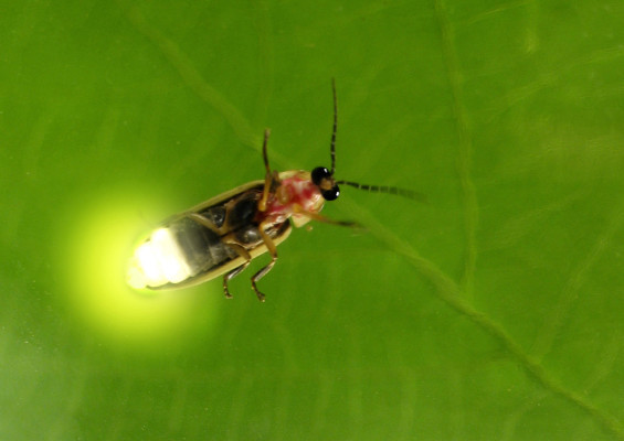 "Pyractomena borealis or ""lightning bug"""