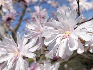 magnolia_stellata_1280