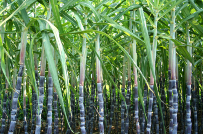 sugar-cane-plantation