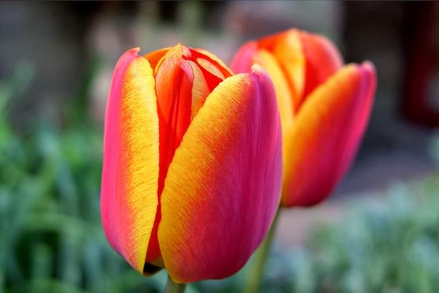 from turkey �the tulips� origin and legend� from canada
