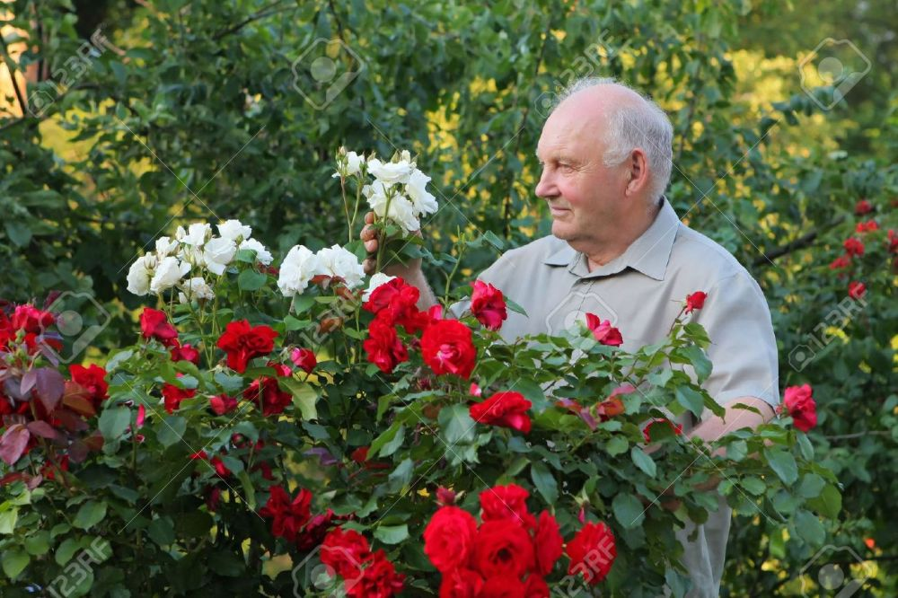 8165798-Old-man-grower-of-roses-next-to-rose-bush-in-his-beautiful-garden--Stock-Photo
